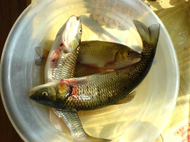 Dere kasnak balıkları